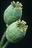 Opium poppy seed pods