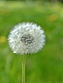 Eine Pusteblume auf einer Wiese