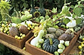 Autumn decoration: ornamental cucumbers & ornamental gourds