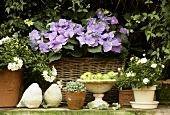 Garden flowers in pots: hydrangeas, jasmine, sedum, miniature rose
