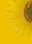 A sunflower against a yellow background