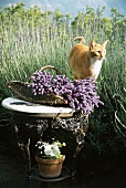 Cat next to basket of lavender