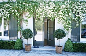 An entrance to a house with flowering jasmine