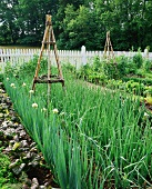 Onions in a vegetable garden