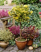 Autumnal planting with euonymus