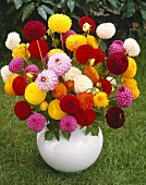 Mixed pompom dahlias in vase