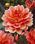 Dahlia, variety 'Yvonne'