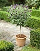 Standard lavender bush in flowerpot