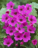 Hardy geranium (Geranium 'Patricia')