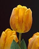 Tulips, variety 'Princess Irene', against black background