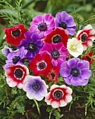 A bunch of poppy anemones (De Caen)