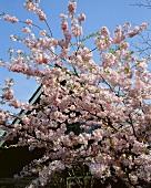 Japanese cherry blossom (Prunus serrulata)