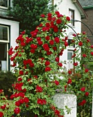 Red climbing rose on arch