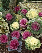 Ornamental cabbages (various kinds) in garden