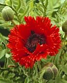Oriental poppy (Papaver orientale Türkenlouis)