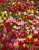 Many different tulips, full-frame