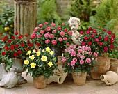 Miniature roses in flowerpots