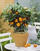 Sweet orange plant in plant pot (Citrus sinensis)