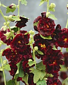 Dark red hollyhocks
