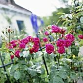 Rosafarbene Kletterrose an Gartenzaun
