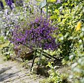 Lobelien auf Klappstuhl im Garten
