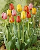 Tulips, variety 'Darwin Hybrids'