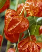 Chinese lanterns (Physalis alkekengi, close-up)