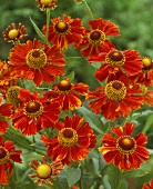 Red Helenium 'Goldlackzwerg'