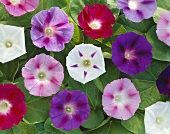 Mixed morning glory flowers