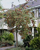 Tragender Zierapfelbaum (Malus Sprenger)