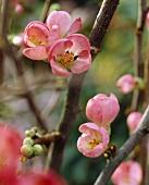 Ornamental quince blossom (Chaenomeles)