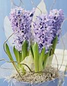 Blue hyacinths, variety 'Delft Blue'