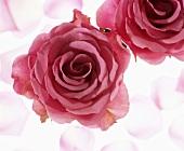 Roses on light coloured background