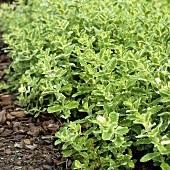 Ananasminze (Mentha suaveolens variegata)