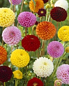 Mixed pompom dahlias