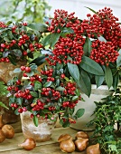 Checkerberry and Skimmia japonica in pots