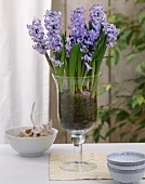 Blue hyacinths in stemmed glass
