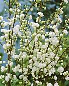 Chinesische Zwergkirsche (lat. Prunus glandulosa alboplena)