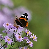 Butterfly on Michaelmas daisies