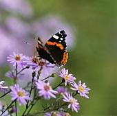 Butterfly on Michaelmas daisies