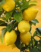 Citrus limon (lemon tree)