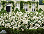 Flowering rose bush in front of house