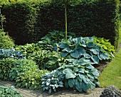Bed of hostas in a garden