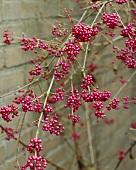 Beauty berry (Callicarpa bodinieri var. giraldii)