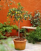 Small kumquat tree in pot