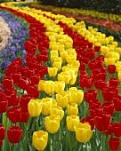 Rot-gelbes Tulpenfeld (Tulipa Apeldoorn)