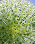 Ornamental onion (Allium giganteum)
