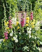 Hollyhocks in various colours (Alcea)