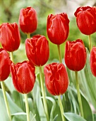 Red 'Arie Hoek' tulips