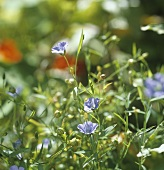 Flowering flax (also known as linseed, Linum usitatissimum)